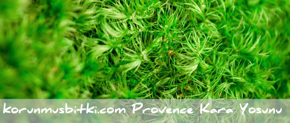 Preserved Provence Moss