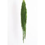 korunmuş amaranthus yeşil bitki