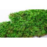preserved fern moss 001
