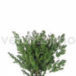 korunmuş bitki ming fern