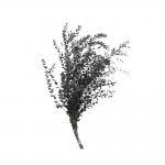 korunmuş parvifolia yeşil bitki