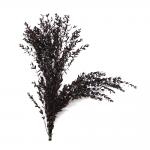 korunmuş parvifolia bordo bitki