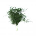 korunmuş plumosus yeşil bitki