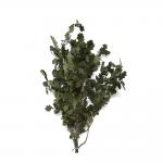 korunmuş quercus yeşil bitki