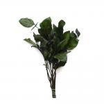korunmuş salal yeşil bitki