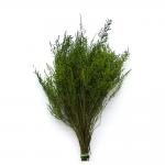 korunmuş stoebe yeşil bitki
