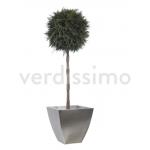 korunmuş topiary küre thuya ağaç