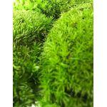 korunmuş top yosun
