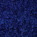 liken ren geyiği yosunu azure blue