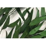 korunmus okaliptus acik yeşil
