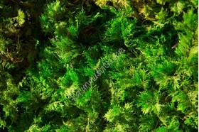 preserved fern moss 002