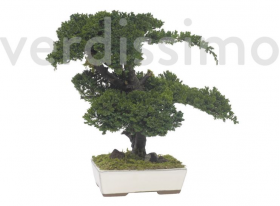 preserved juniperus bonsai 50