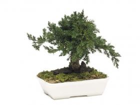 korunmuş bonsai ardıç juniperus 15 cm