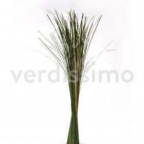 korunmuş ginerim oriental bitki