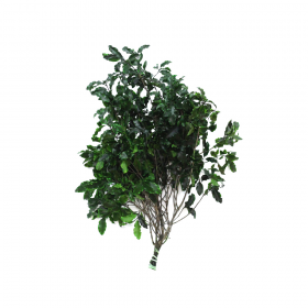 korunmuş pitosporum yeşil bitki